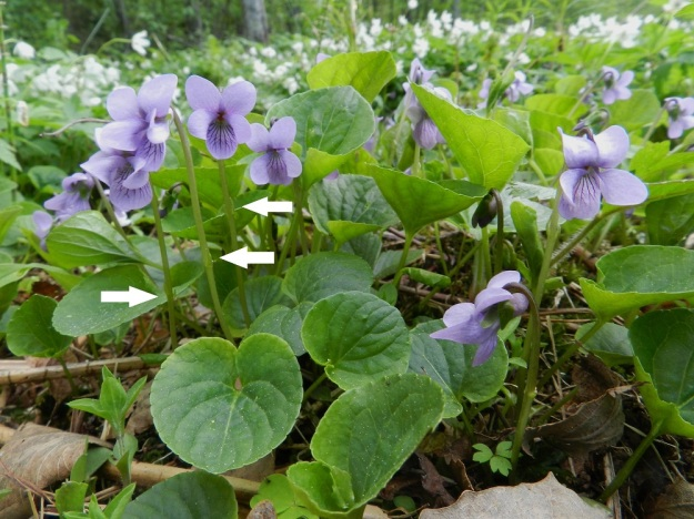 Viola xfennica (V. epipsila x palustris) - viitaorvokin hyvä tuntomerkki lehtien lisäksi löytyy kukkaperistä. Niiden esilehdet ovat noin perän puolivälissä tai hieman sen yläpuolella (nuolet). Korkeussijainti voi vaihdella vierekkäisissä kukissakin. Suo-orvokilla esilehdet ovat yleensä aika selvästi puolivälin alapuolella ja korpiorvokilla yläpuolella, usein lähempänä kukkaa kuin puoltaväliä. EH, Hämeenlinna, Renko, Renkajoen koillispuoli urheilukentän kaakkoispuolella, rantametsä ulkoilureitin varrella, 21.5.2012. Copyright Hannu Kämäräinen.