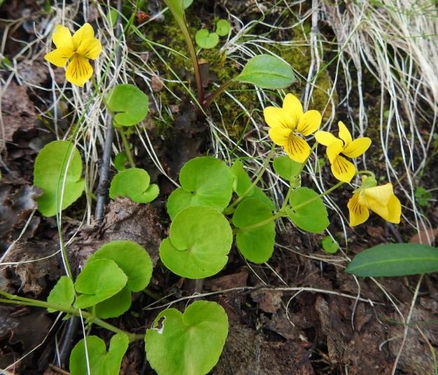 Viola biflora - lapinorvokin varret ovat yleensä yksi- tai kaksikukkaisia, vaikka tieteellinen lajinimi painottaakin kaksikukkaisuutta. Pituutta varsilla on tavallisesti 7-20 cm. EnL, Enontekiö, Kilpisjärvi, Saanan lounaisrinne, ensimmäisen, matalan pahtaseinämän yläpuolinen, valu- ja tihkuvesien kostuttama jyrkkä varvikkorinne retkeilykeskuksen kohdalla, luonnonsuojelualue, 620 m mpy, 5.7.2018. Copyright Hannu Kämäräinen.