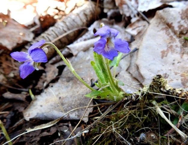 Viola collina - mäkiorvokin ruusukkeet kasvavat maavarren haarojen kärkeen eivätkä ne yleensä juurru erikseen maaperään. Kuolleiden haavanlehtien alla paljaana olleen maavarren kärkiosaa ympäröivät edellisten kasvukausien kuivuneet lehtiruodit, ehkä kukkaperätkin. St, Sastamala, Vammala, 5.5.2020. Copyright Hannu Kämäräinen.