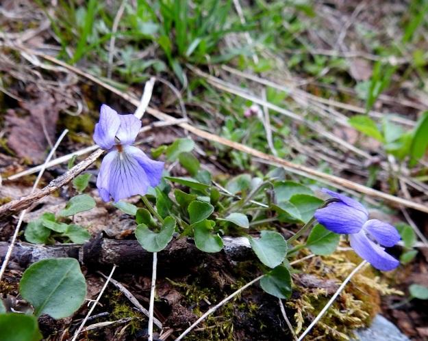 Viola rupestris subsp. relicta - hietaorvokki subsp. pahtahietaorvokki nousee toisinaan vain muutamia senttejä kasvualustastaan. Sen kukat ovat lehtien kokoon verrattuina suuret. EnL, Enontekiö, Kilpisjärvi, Saanan lounaisrinne, ensimmäisen, matalan pahtaseinämän yläpuolinen, osin valuvetinen avokalliojuotti retkeilykeskuksen kohdalla, luonnonsuojelualue, 620 m mpy, 5.7.2018. Copyright Hannu Kämäräinen.