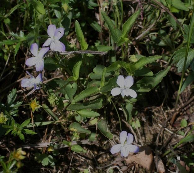 Viola stagnina (V. persicifolia) - rantaorvokin kukat ovat toisinaan myös vaaleansinisiä. EH, Vesilahti, Mantere, Mantereenjärven koillisranta, Peltosaarentien varren vanha, veden vaivaama pelto, 21.6.2009. Copyright Hannu Kämäräinen.
