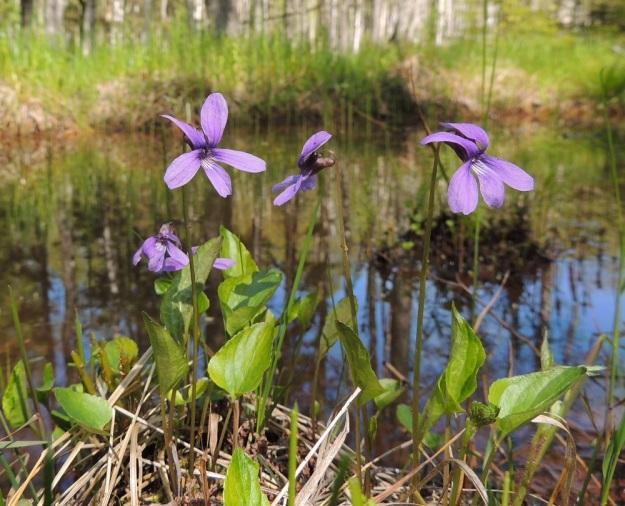 Viola uliginosa - luhtaorvokin kukat ovat selvästi ruusukelehtiä pitemmät. Kukan kaksi ylintä terälehteä ovat enemmän tai vähemmän taaksepäin kaartuvia. U, Hanko, Santala, Luhtakorpi, tervaleppäluhta, luonnonsuojelualue, 30.5.2015. Copyright Hannu Kämäräinen.