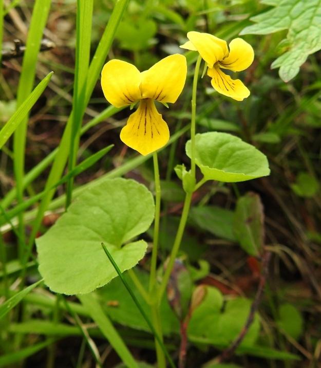 Viola biflora - lapinorvokin varret ovat usein pystyt. Kukat ovat lehtihankaisia ja niiden perä on yleensä 2-5 cm pitkä. EnL, Enontekiö, Kilpisjärvi, Saanan luoteisrinteen länsipuolinen tunturikoivikko retkeilykeskuksen kohdalla , 585 m mpy, 5.7.2018. Copyright Hannu Kämäräinen.