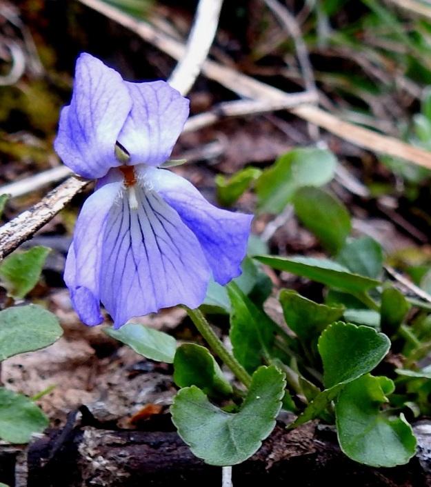 Viola rupestris subsp. relicta - hietaorvokin subsp. pahtahietaorvokin teriön koko vaihtelee melkoisesti samallakin kasvupaikalla. Teriö on yleensä noin 10-18 mm pitkä ja noin 10-15 mm leveä . Kuvan kukka on mittojen yläpäästä. Terälehdet ovat useimmiten siniset ja suonitukseltaan terälehden pohjaväriä tummemmat sekä tyveltään vaaleat tai valkoiset. EnL, Enontekiö, Kilpisjärvi, Saanan lounaisrinne, ensimmäisen, matalan pahtaseinämän yläpuolinen, osin valuvetinen avokalliojuotti retkeilykeskuksen kohdalla, luonnonsuojelualue, 620 m mpy, 5.7.2018. Copyright Hannu Kämäräinen.