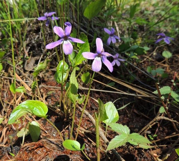 Viola uliginosa - luhtaorvokki on varreton, sillä sen kukat ja lehdet nousevat erikseen suoraan suikertavasta ja rönsyävästä juurakosta. Ruusukelehtiä on yleensä 2-4. Niiden lehtiruoti on tavallisesti noin 5-10 cm pitkä. Kukkaperän pituus on noin 10-15 cm. U, Hanko, Santala, Luhtakorpi, tervaleppäluhta, luonnonsuojelualue, 30.5.2015. Copyright Hannu Kämäräinen.