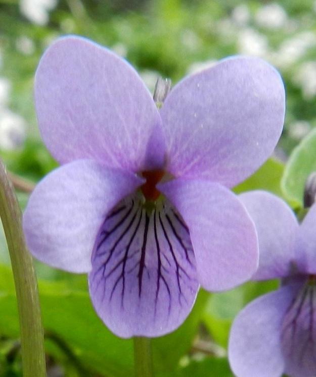 Viola xfennica (V. epipsila x palustris) - viitaorvokin neljä ylempää terälehteä ovat vastapuikeat ja tavallisesti pyöreäpäiset sekä noin 10-13 mm pitkät ja leveimmältä kohtaa noin 4-6 mm leveät. Alaviistoon osoittavien terälehtien tyviosassa on läpinäkyvien karvojen ryhmä tai toisinaan se voi puuttua kokonaan. Alimmainen terälehti on vastapuikea ja yleensä pyöreä- tai hieman lovipäinen sekä ilman kannusta noin 12-17 mm pitkä ja leveimmältä kohtaa noin 5-8 mm leveä. Mittasuhteet vastaavat enemmän korpi-orvokkia, V. epipsila. Lisäksi alimmainen terälehti on usein ulommaksi yltävä kuin suo-orvokilla, V. palustris. EH, Hämeenlinna, Renko, Renkajoen koillispuoli urheilukentän kaakkoispuolella, rantametsä ulkoilureitin varrella, 21.5.2012. Copyright Hannu Kämäräinen.