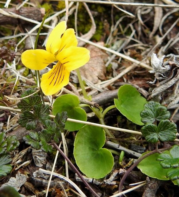 Viola biflora - lapinorvokki on toisinaan pieni ja sen varsikin voi olla koheneva. Varsilehtiä on useimmiten 2-4 ja niiden ruoti on tyvilehtiä lyhyempi, noin 1-5 cm pitkä. Kuvassa myös tunturiängelmän, Thalictrum alpinum, lehtiä. EnL, Enontekiö, Kilpisjärvi, Saana, Saanan luoteisrinne lähellä pahtaseinämää, paljakkarinne, 735 m mpy, 5.7.2018. Copyright Hannu Kämäräinen.