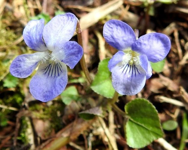 Viola rupestris subsp. rupestris - hietaorvokin subsp. harjuhietaorvokin terälehdissä voi olla kuvan tavoin myös enemmän sinisävyä. Alaviistoon osoittavien terälehtien tyviosassa on tiheä ryhmä läpinäkyviä karvoja. Olisiko kenties niiden tehtävänä kammata kukkaan tulevan hyönteisen päähän tarttunutta siitepölyä kukan emin ainokaiselle luotille, joka yltää sopivasti karvojen alapuolelle. St, Sastamala, Vammala, Sammaljoki, peltoalueen laiteessa olevan Käkikallion, alarinne, 16.5.2019. Copyright Hannu Kämäräinen.