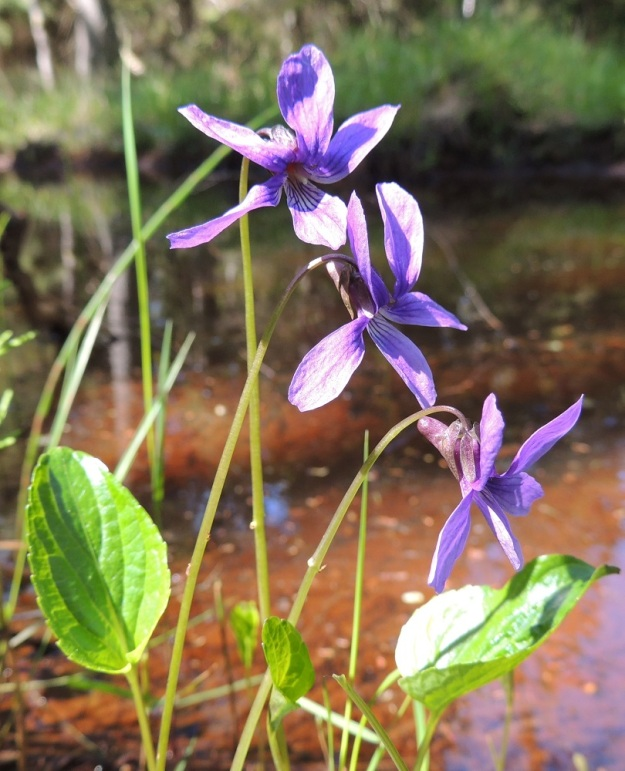Viola uliginosa - luhtaorvokin kukkien yleisilme on usein hyvin levällään oleva. Niinpä tavallisesti noin 25-30 mm pitkät kukat voivat olla pituutensa levyisiä. U, Hanko, Santala, Luhtakorpi, tervaleppäluhta, luonnonsuojelualue, 30.5.2015. Copyright Hannu Kämäräinen.