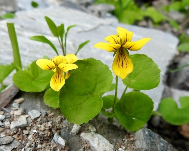 Viola biflora - lapinorvokin kukassa on viisi keltaista terälehteä. Ikääntyessään ylemmät niistä kiertyvät usein voimakkaasti. EnL, Enontekiö, Kilpisjärvi, Iso-Mallan etelärinne, Kitsijoen Kitsiputouksen tyvirotko, 650 m mpy, 9.7.2018. Copyright Hannu Kämäräinen.