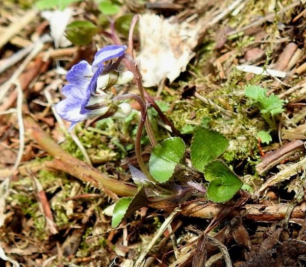 Viola rupestris subsp. rupestris - hietaorvokin subsp. harjuhietaorvokin kukkaperät ovat tavallisesti noin 2-5 cm pitkiä ja niiden väri vaihtelee vihreästä sinipunaiseen tai punaruskeaan. Kukan viidestä verholehdestä ylimmät ovat alempia lyhyemmät ja kapeammat. Verholehdissä on tyvilisäke, joka kuvan kukissa on taipunut ulospäin. St, Sastamala, Vammala, Sammaljoki, peltoalueen laiteessa olevan Käkikallion, alarinne, 16.5.2019. Copyright Hannu Kämäräinen.