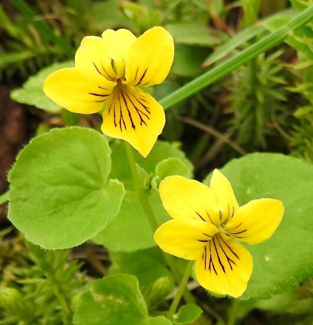Viola biflora - lapinorvokin terälehdistä kaksi on suuntautunut ylös ja kaksi enemmän tai vähemmän yläviistoon. Nämä neljä ovat malliltaan vastapuikeita ja pyöreähköpäisiä Viides terälehti on alaspäin suuntautunut ja vastapuikea tai päästään vinoneliömäinen. EnL, Enontekiö, Kilpisjärvi, Saanan luoteisrinteen länsipuolinen tunturikoivikko retkeilykeskuksen kohdalla , 585 m mpy, 5.7.2018. Copyright Hannu Kämäräinen.