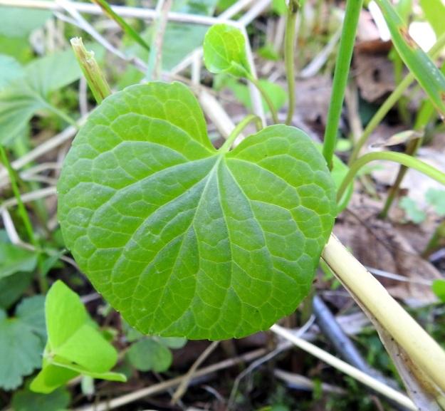 Viola xfennica (V. epipsila x palustris) - viitaorvokin lehtilapa on vaaleahkon vihreä ja päältä kalju. Tyvilovi on matala tai syvempi ja leveä. Kukintavaiheessa lehtilapa on tavallisesti noin 2,5-5 cm pitkä ja suunnilleen saman levyinen. Ks, Kuusamo, Ruka, Salmilamminkylä, purolehto, Suolahteen laskevan Suolahdenpuron laiteet, 15.6.2019. Copyright Hannu Kämäräinen.