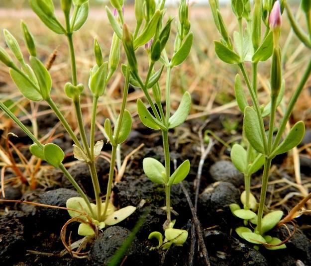 Centaurium pulchellum - pikkusapen varret, haarat ja kukkaperät ovat särmikkäät ja kaljut. Lehdet ovat vastakkaiset, ruodittomat ja kaljut. Malliltaan ne ovat yleensä soikeat tai kapeansoikeat. Pituutta niillä on tavallisesti noin 3-10 mm ja leveyttä leveimmältä kohtaa noin 1-4 mm. Varren ylemmät lehtiparit ovat yleensä alempia pitemmät. A, Lemland, Järsö, Söderfjärdenin pitkän, kiemuraisen merenlahden pohjoispään pienen lahdelman tasainen ranta-alue, 12.7.2017. Copyright Hannu Kämäräinen.