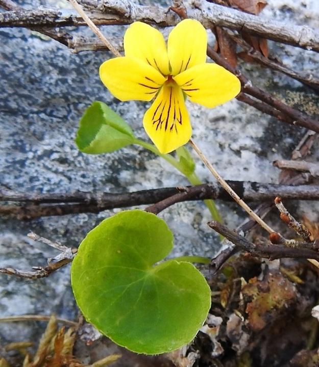 Viola biflora - lapinorvokin teriö on tavallisesti noin 15-20 mm pitkä ja noin 13-15 mm leveä. Sen neljä ylempää terälehteä ovat noin 6-10 mm pitkät ja leveimmältä kohtaa noin 3-5 mm leveät. Viides alaspäin suuntautunut terälehti on noin 7-13 mm pitkä ja leveimmältä kohtaa noin 4-8 mm leveä. Heteitä on viisi ja kuvassa näkyvä emi on yksiluottinen. Terälehtien suonitus on ruskeanvioletti ja se toimii mesiviittoina hyönteisille. EnL, Enontekiö, Kilpisjärvi, Saana, Saanan luoteisrinne lähellä pahtaseinämää, paljakkarinne, 720 m mpy, 5.7.2018. Copyright Hannu Kämäräinen.