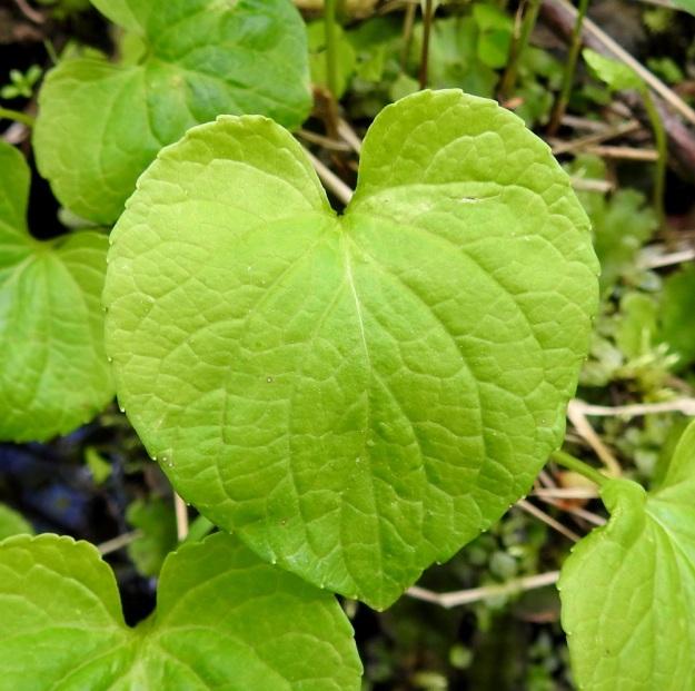 Viola epipsila - korpiorvokin lehtilapa on leveän herttamainen, pyöreähkömuotoinen tai munuaismainen ja kärjestään terävähkö, tylppä tai harvemmin pyöreähkö. Jokaisessa ruusukkeessa ainakin yksi lehti on kuvan tavoin herttamainen ja sillä on selvä kärki. Lehti on nyhälaitainen ja sen tyvilovi on matala tai syvä ja yleensä leveähkö. Lapa on vaaleahkon vihreä ja päältä kalju. Kukintavaiheessa se on tavallisesti noin 2,5-5 cm pitkä ja suunnilleen saman levyinen. Ks, Kuusamo, Ruka, Salmilamminkylä, purolehto, Suolahteen laskevan Suolahdenpuron laiteet, 15.6.2019. Copyright Hannu Kämäräinen.