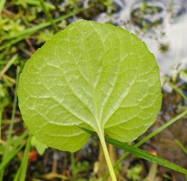 Viola xfennica (V. epipsila x palustris) - viitaorvokin lehtilapa on munuaismainen, pyöreähkönmuotoinen tai herttamainen ja nyhälaitainen. Valtaosa ruusukkeen lehdistä voi olla pyöreäpäisiä, mutta joukossa on ainakin yksi lehti, johon on muodostunut jonkinlainen matala ja tylppä kärki. Lehti on alta kaljuhko tai vaihtelevasti karvainen. Kuvan lehdessä karvoja on hyvin vähän. Ks, Kuusamo, Ruka, Salmilamminkylä, purolehto, Suolahteen laskevan Suolahdenpuron laiteet, 15.6.2019. Copyright Hannu Kämäräinen.