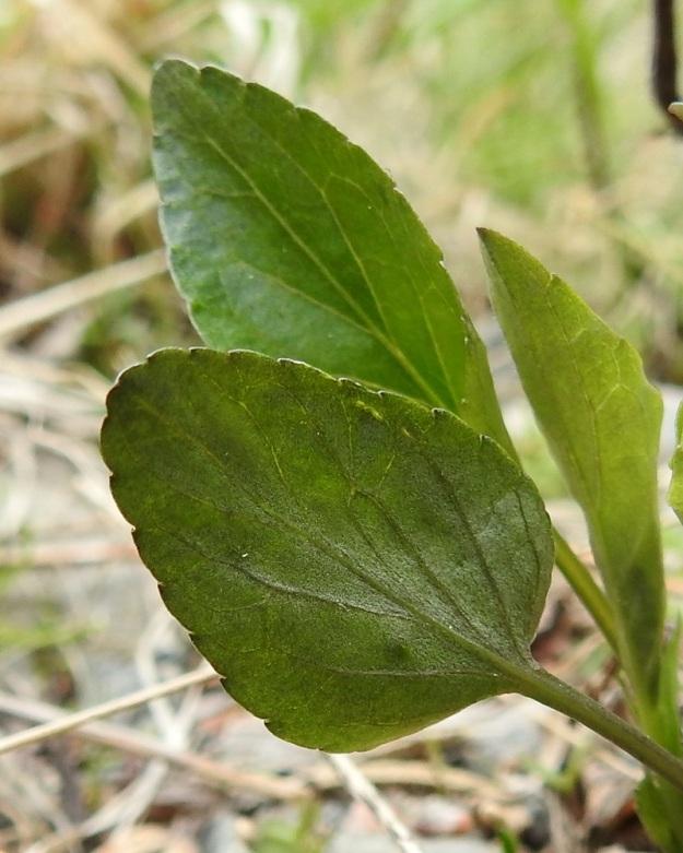 Viola canina subsp. canina - aho-orvokin subsp. pikkuaho-orvokin lehtilapa on matalasti nyhälaitainen ja sen kärki on tylppä tai terävähkö. Alapinta on kuvan tavoin kalju tai suonia myöten lyhytkarvainen. EH, Riihimäki, Kenkiä, Kenkiäntieltä, Hirvijärventien eteläpuolelta, itään lähtevä metsätieura, uran laitaketokaista noin 350 m maantieltä, 27.5.2020. Copyright Hannu Kämäräinen.