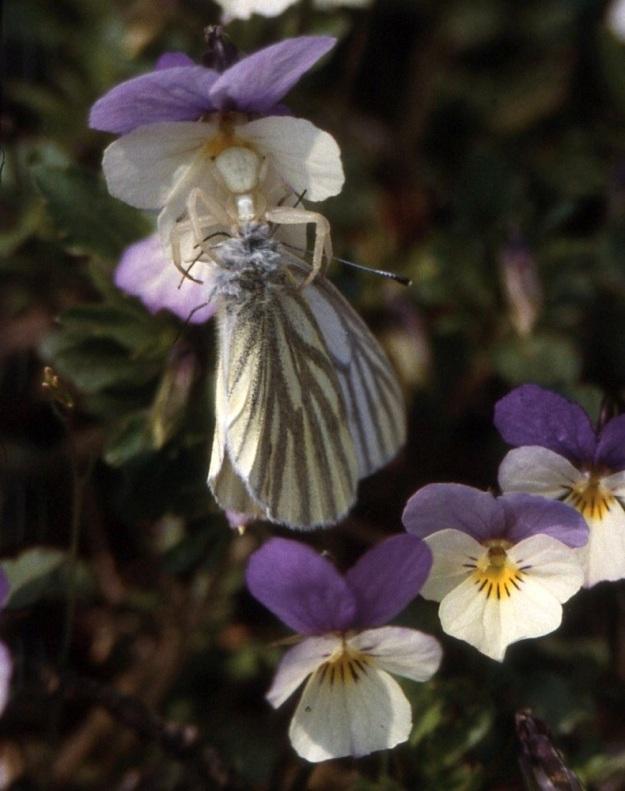 Viola tricolor - keto-orvokin värivaihtelut eivät häiritse kukkahämähäkkiä eli nykyistä kukkaravukkia, Misumena vatia, joka osaa sulauttaa oman värinsä taustaan sopivaksi. Ansaan on joutunut mesiapajalle saapunut lanttuperhonen, Pieris napi. V, Särkisalo (nyk. Salo), Förby, Niksor, Ulkoluodon lossirantaan vievän tien varren kalliopaljastuma, 10.5.1998. Skannattu dia. Copyright Hannu Kämäräinen.
