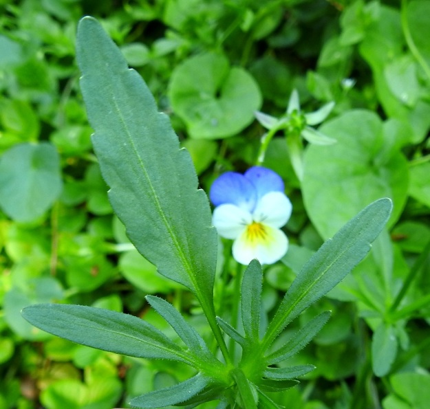 Viola xwittrockiana - tarhaorvokin ylemmät lehdet ovat yleensä alempia kapeampia ja kapean kiilatyvisiä. Lehtien korvakkeet ovat lehtimäiset, syvään pariliuskaiset ja tavallisesti laidoiltaan lyhytkarvaiset. Kärkiliuska on muita selvästi isompi ja kapean vastapuikea tai suikea sekä ehyt tai nyhälaitainen. Ylempien lehtien korvakkeet ovat yleensä noin 2-4 cm pitkät ja ruotia pitemmät. EH, Kouvola, Kuusankoski, Rekola, hautausmaan komposti- ja jätemaakasa-alue, aumojen vierus, 22.6.2020. Copyright Hannu Kämäräinen.