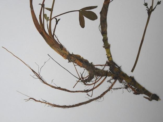 Menyanthes trifoliata - raatteen juurakko on suikertava, pitkä, haarova ja noin 10 mm paksu sekä nivelistään juurehtiva. Sen sisus on hohkainen ja ilmava, joten se kannattelee haarojen kärjestä versovia lehtiä ja kukkavanoja hyvinkin vetisessä ympäristössä. EH, Hämeenlinna, Luolaja, Hattelmalanjärven luoteisrannasta lähtevä pitkä suokiila, 1.7.1987. Kuva näytteestä, copyright Hannu Kämäräinen.