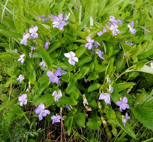 Viola canina subsp. ruppii x riviniana - isoaho-orvokin ja metsäorvokin risteymäyksilö, joka lehtiensä puolesta sopisi lähes puhtaaksi isoaho-orvokiksikin. Kuitenkin tiheä, yli 20-vartinen kokonaisuus kielii risteymästä jo kauempaakin katsoen ilman, että välttämättä tarvitsee kumartua tutkimaan lehtikorvakkeiden hampaita. Myös ylimpien lehtien tyviloven syvyys viittaa risteymäsyntyisyyteen. EH, Hämeenlinna, Vuorentaka, Kuralasta Vähä-Tertin ohi menevän metsätieuran laita, 7.6.2015. Copyright Hannu Kämäräinen.