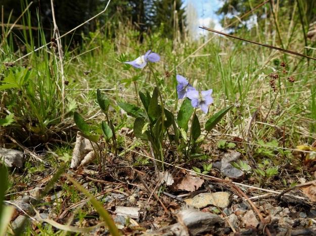Viola canina subsp. canina - aho-orvokki subsp. pikkuaho-orvokki kasvaa mm. kedoilla, metsänreunoissa ja pientareilla eteläisessä Suomessa. Se on lähes kaikin tavoin pienempi kuin kaikkialla Suomessa kasvava ja valtaosassa maata yleinen alalaji isoaho-orvokki, subsp. ruppii. Pikkuaho-orvokilla on pituutta yleensä noin 8-15 cm (kuvassa noin 10 cm). EH, Riihimäki, Kenkiä, Kenkiäntieltä, Hirvijärventien eteläpuolelta, itään lähtevä metsätieura, uran laitaketokaista noin 350 m maantieltä, 27.5.2020. Copyright Hannu Kämäräinen.