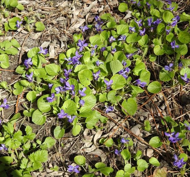 Viola odorata - tuoksuorvokki kasvaa usein tiheinäkin kasvustolaikkuina, koska se pystyy kasvustollisesti levittäytymään kahdellakin tavalla. Juuristo haaroo yläpäästään ja kasvattaa haarakärkiin lehtiruusukkeet. Lisäksi ruusukkeiden tyveltä kasvavat pitkät, juurehtivat rönsyt, jotka suikertavat pitkin maanpintaa (näkyvät vaaleina erityisesti kuvan vasemmassa alaosassa). Rönsyihin kasvaa uusia ruusukkeita. U, Helsinki, Kannelmäki, Tanotorventien laita, pensasaidan vierus, viljelykarkulainen, 7.5.2020. Copyright Hannu Kämäräinen.