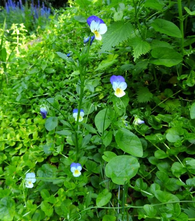 Viola xwittrockiana - tarhaorvokki on hyvin monimuotoinen, noin 10-30 cm korkea, kolmen lajin risteymäkompleksi. Kuvan yksilöllä on niin paljon yhden kantalajinsa, keto-orvokin, V. tricolor, piirteitä, että se voi olla takaisin risteytymä tämän kanssa. Seuralasina kasvupaikalla ovat mm. suikeroalpi, Lysimachia nummularia ja valkokarhunköynnös, Convolvulus sepium. EH, Kouvola, Kuusankoski, Rekola, hautausmaan komposti- ja jätemaakasa-alue, aumojen vierus, 22.6.2020. Copyright Hannu Kämäräinen.