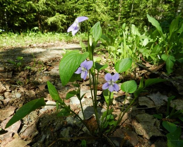 Viola canina subsp. ruppii - aho-orvokin subsp. isoaho-orvokin alemmat varsilehdet ovat usein pienet ja herttamaiset sekä tyveltään matala- ja leveäloviset. Ylimmät lehdet ovat yleensä pitkän- ja kapeanpuikeat, tyveltään suorahkot tai matala- ja leveäloviset. Kärki on tylppä tai terävähkö. Lapa on päältä kiiltävähkö ja kalju tai harvaan lyhytkarvainen. EH, Janakkala, Rastila, Kalpalinnan harjualueen luoteispää, Sälilammen mökkitien varsi, 26.5.2012. Copyright Hannu Kämäräinen.