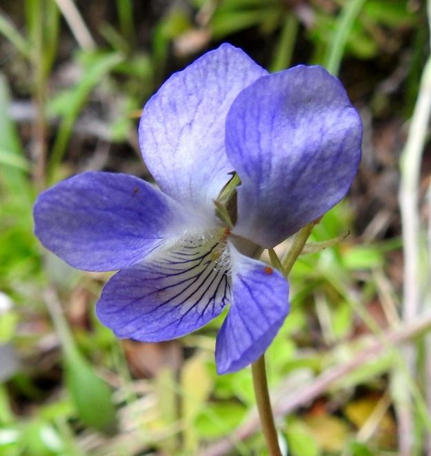 Viola canina subsp. ruppii - aho-orvokin subsp. isoaho-orvokin terälehtien tyviosa on valkoinen ja alimman lehden peräosan suonitus on yleissävyä huomattavasti tummempi. Suonet ovat mesiviittoina hyönteisille kohti kannusta. Nielussa pilkottavat oranssit heteet ja yksittäinen emin luotti. EnL, Enontekiö, Kilpisjärvi, Saanan lounaanpuoleinen rinne, ensimmäinen, matala pahtaseinämä tunturikoivikkorinteessä, retkeilykeskuksen kohdalla, luonnonsuojelualue, 600 m mpy, 5.7.2018. Copyright Hannu Kämäräinen.