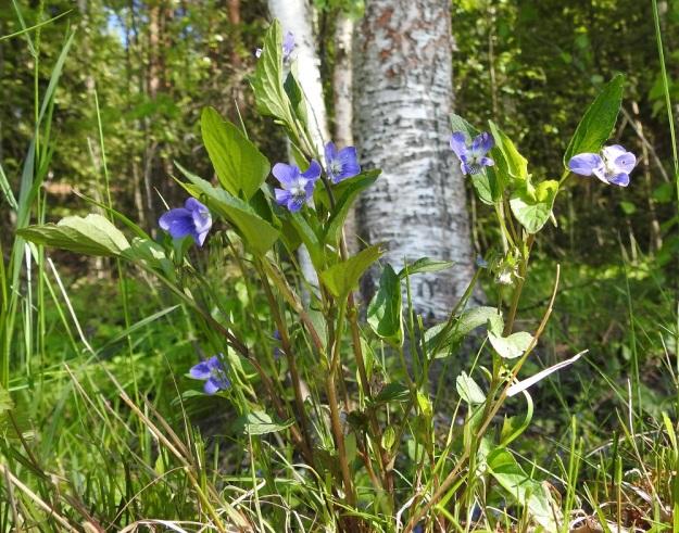 Viola canina subsp. ruppii - aho-orvokki subsp. isoaho-orvokki on tavallisesti noin 15-30 cm korkea. Sen varret ovat pystyt tai kaarevat ja yleensä haarattomat. Ne ovat vihreät tai toisinaan kuvan tavoin punaruskeat ja kaljut. Ruodillisia varsilehtiä on tavallisesti 4-7. EH, Hämeenlinna, Vuorentaka, Kurala, Vähä-Tertintien laita metsän reunassa, 1.6.2019. Copyright Hannu Kämäräinen.