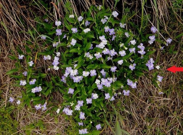 Viola canina subsp. ruppii x stagnina - isoaho-orvokin ja rantaorvokin risteymä levittäytyy tehokkaasti kasvullisesti suikertavan ja haarovan juuristonsa avulla. Kuvan kasvusto näyttää ainakin ilman lähempää tarkastelua kasvutapansa, lehtiensä ja kukkiensa puolesta erehdyttävästi puhtaalta rantaorvokilta. Kukkien mittaluokka on kuitenkin suurempi ja lähempänä isoaho-orvokkia. Vertailu on aina helpompaa, jos kasvupaikalta löytyvät myös kantalajit. Risteymän oikeassa laidassa sinnittelee vielä yksittäinen rantaorvokki (nuoli). EH, Vesilahti, Mantere, Peltosaari, Hulausjärven rantaan vievän peltotien ison laitaojan rinne, 6.6.2015. Copyright Hannu Kämäräinen.