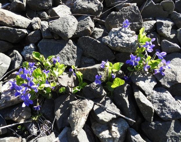 Viola hirta - karvaorvokki näyttää lähes ainoana lajina pärjäävän myös paahteisella ratasepelillä. V, Turku, Iso-Heikkilä, teollisuusalue, Aakenkadun ja radan välinen ojapainanne laita-alueineen. 9.5.2020. Copyright Hannu Kämäräinen.