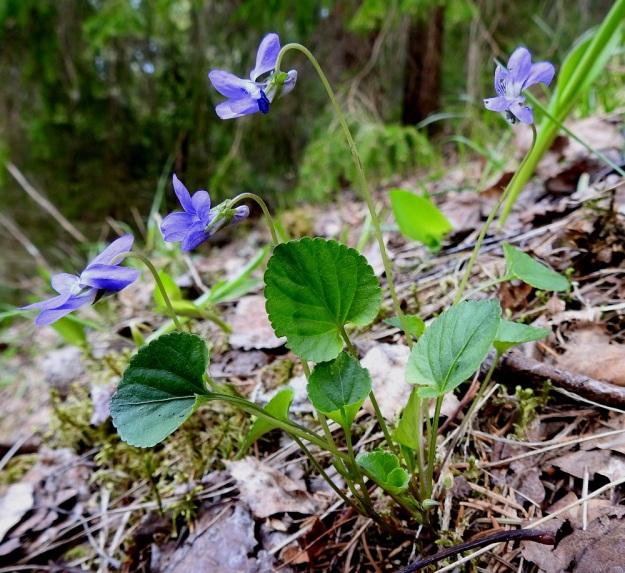 Viola riviniana - metsäorvokki on kukintansa eri vaiheissa noin 10-25 cm korkea ja ruusukelehtien ruoti on noin 3-10 cm pitkä. St, Sastamala, Vammala, Kaltsila, Poukonvuoren lehtometsärinne, 16.5.2019. Copyright Hannu Kämäräinen.