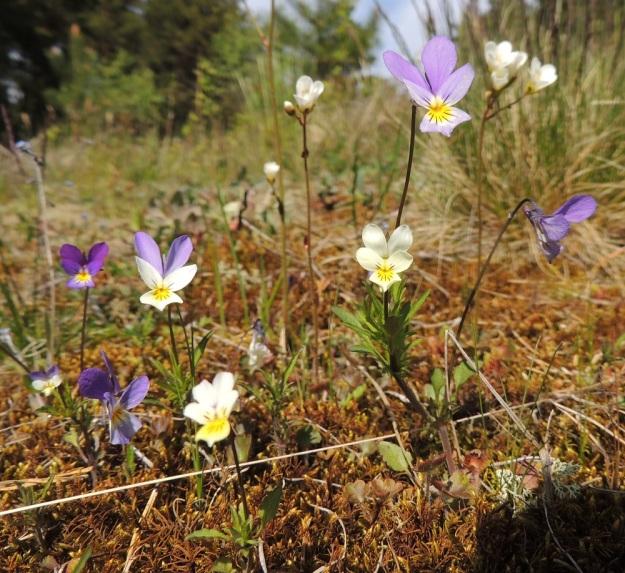 Viola tricolor - keto-orvokin monimuotoisuutta on hyvin vaikea tyhjentävästi määritellä. Samassakin kasvustossa teriön väritys, koko ja terälehtien mittasuhteet vaihtelevat suuresti. Kuvan yksilöt ovat pystyjä, yksivartisia ja vähäkukkaisia. Varret ja kukkaperät ovat punaruskeat. Taustalla kasvaa myös papelorikkoa, Saxifraga granulata. U, Hanko, Tvärminne, Tvärminneöhön vievän J. A. Palménintien laitakallio 30.5.2015. Copyright Hannu Kämäräinen.