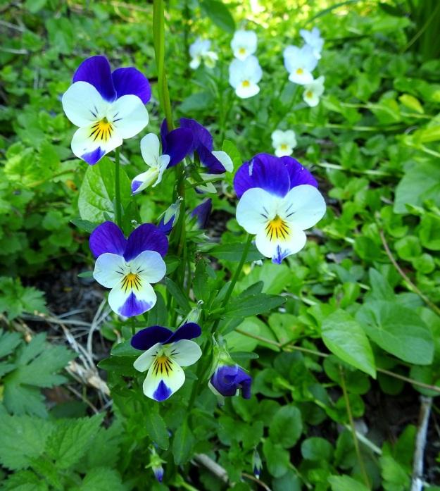 Viola xwittrockiana - tarhaorvokki, jonka ylimmät terälehdet ovat hyvin voimakkaan siniset. Samaa väriä on aivan kuin sipaistu vielä alimman terälehden kärkeen. Myös tämä yksilö muistuttaa kovasti keto-orvokkia. Kukat ovat kuitenkin reilut 3 cm leveitä. Retkeilykasvion (1996) määrityskaavassa raja keto-orvokin ja tarhaorvokin välillä kulkee 2,5 cm:ssä. EH, Kouvola, Kuusankoski, Rekola, hautausmaan komposti- ja jätemaakasa-alue, aumojen vierus, 22.6.2020. Copyright Hannu Kämäräinen.
