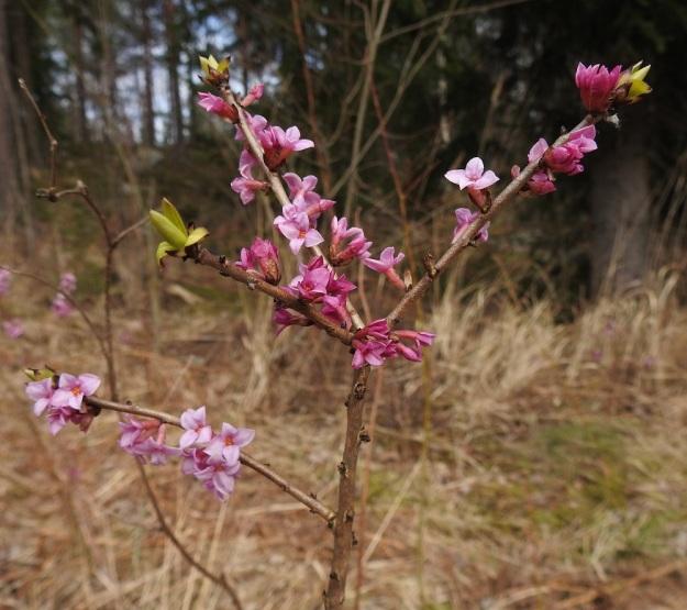 Daphne mezereum - lehtonäsiän kukat ovat yleensä kahden tai kolmen kukan ryhminä edellisen vuoden vuosikasvaimissa, tippuneiden lehtien jättämien tyviarpien hangoissa. Varret ovat vaaleanruskeat tai harmahtavat ja pohjaväriä tummempipilkkuiset. EH, Hämeenlinna, Loimalahti, Hirsimäki, Metsälammentien ja Yli-Raakkulantien välinen havumetsäkaista, 28.3.2020. Copyright Hannu Kämäräinen.