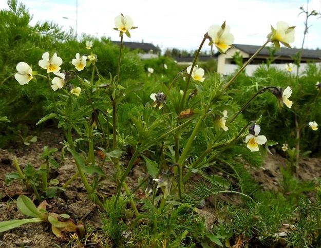 Viola arvensis - pelto-orvokki on tavallisesti noin 10-40 cm korkea sekä pysty ja haaraton tai tyveltä kohenevasti haarova. EH, Hämeenlinna, Loimalahti, Sampo, Sammonojantien laita, tuleva nurmikkokaista, 29.5.2020. Copyright Hannu Kämäräinen.