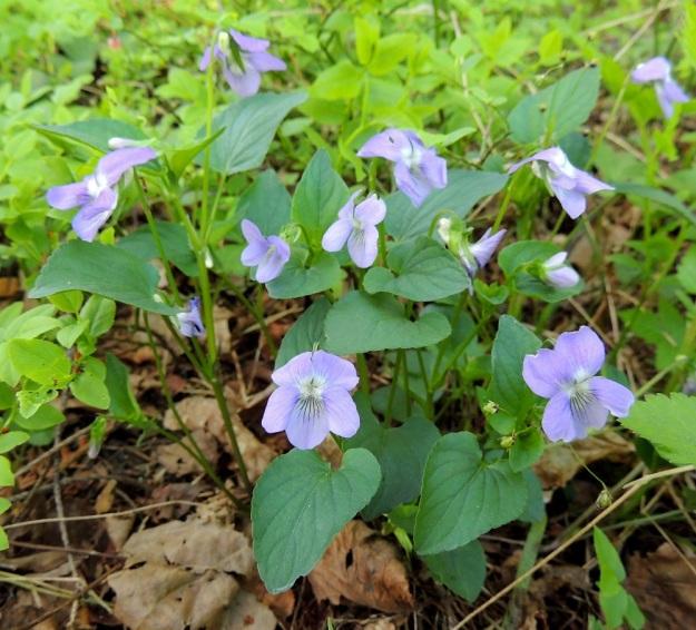 Viola canina subsp. ruppii x riviniana - isoaho-orvokin ja metsäorvokin risteymä, joka on lehdiltään lähempänä metsäorvokkia. Myös terälehdet ovat metsäorvokin tapaan limittäiset. Leveän herttamaiset lehdet kuitenkin puuttuvat ja ylemmät lehdet ovat liian pitkäsuippuisen puikeita. U, Helsinki, Tuomarinkylä, Haltiala, Haltianpolun varrella oleva luonnonsuojelualue, metsäpolun varsi, 21.5.2013. Copyright Hannu Kämäräinen.