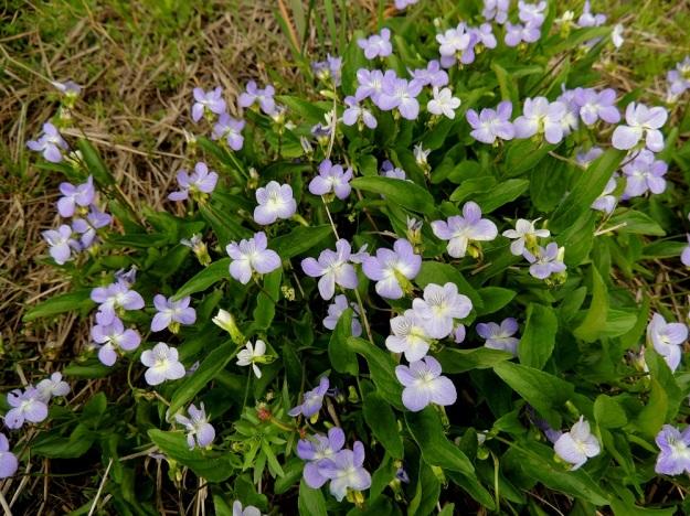 Viola canina subsp. ruppii x stagnina - isoaho-orvokin ja rantaorvokin risteymä voi ominaisuuksiltaan olla lähempänä jompaa kumpaa kantalajia, kuten tämäkin kuvasarja osoittaa. Kuvan risteymän lehdet ovat kuin suoraan rantaorvokilta otetut. Ne ovat kapeanpuikeat ja enemmän tai vähemmän kouruiset näyttäen tällöin lähes suikeilta tai kapean kolmiomaisilta. EH, Vesilahti, Mantere, Peltosaari, Hulausjärven rantaan vievän peltotien ison laitaojan rinne, 6.6.2015. Copyright Hannu Kämäräinen.