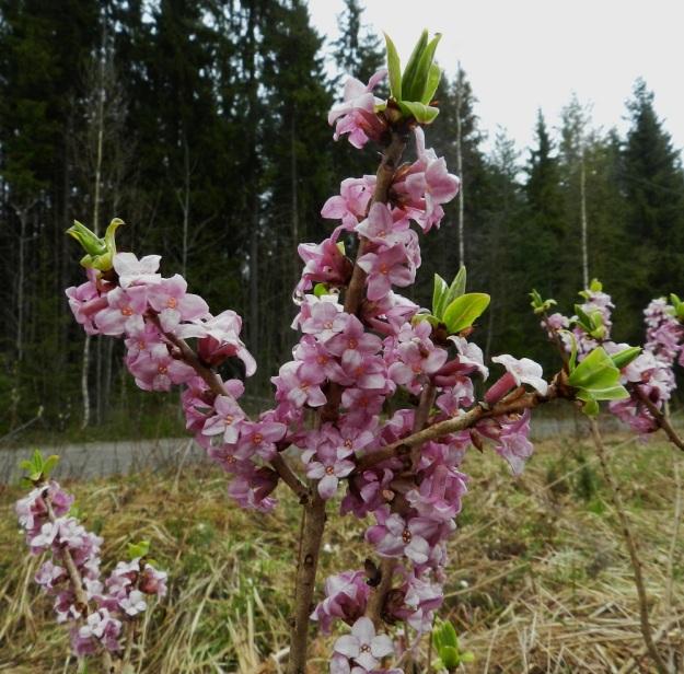 Daphne mezereum - lehtonäsiä on tiheästi kukkiessaan näyttävä pensas. Siitä on myös jalostettu pallomaisia puutarhalajikkeita. EH, Hämeenlinna, Idänpää, Aulangonjärven eteläpuoli, Kihtersuolta Papinniittyyn vievän kävelytien varsi lähellä metsän laidetta, 5.5.2012. Copyright Hannu Kämäräinen.