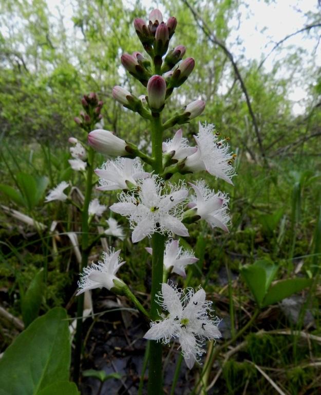 Menyanthes trifoliata - raatteen kukintoterttu on useimmiten noin 15-25 kukkainen ja noin 7-12 cm pitkä. Kukat ovat tertussa yleensä kolmen ryhminä likimain samalla tasolla sekä kohdaltaan ulospäin siirottaen. EH, Hämeenlinna, Luolaja, Hattelmalanjärven luoteisrannan pitkä suokiila, luonnonsuojelualue, 31.5.2012. Copyright Hannu Kämäräinen.