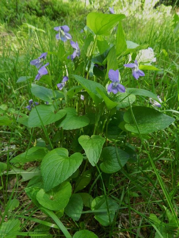 Viola canina subsp. ruppii x riviniana - isoaho-orvokin ja metsäorvokin risteymäyksilö, joka on niin välimuotoinen, että se on helppo havaita risteymäksi. Myös varsikon tiheys ja suuri koko helpottavat tulkintaa. Etualalla kasvaa yksittäinen ruusukelehti. Puolivälin varsilehdistä löytyy metsäorvokille sopivia, herttamaisia lehtiä. Ylälehdet ovat pitkäsuippuisen puikeita, mutta kuitenkin aho-orvokille liian leveitä. 7.6.2012 EH, Asikkala, Hillilä, Syrjänsupat, suppa-alueen laidalla kulkevan metsäpolun laita, 7.6.2012. Copyright Hannu Kämäräinen.