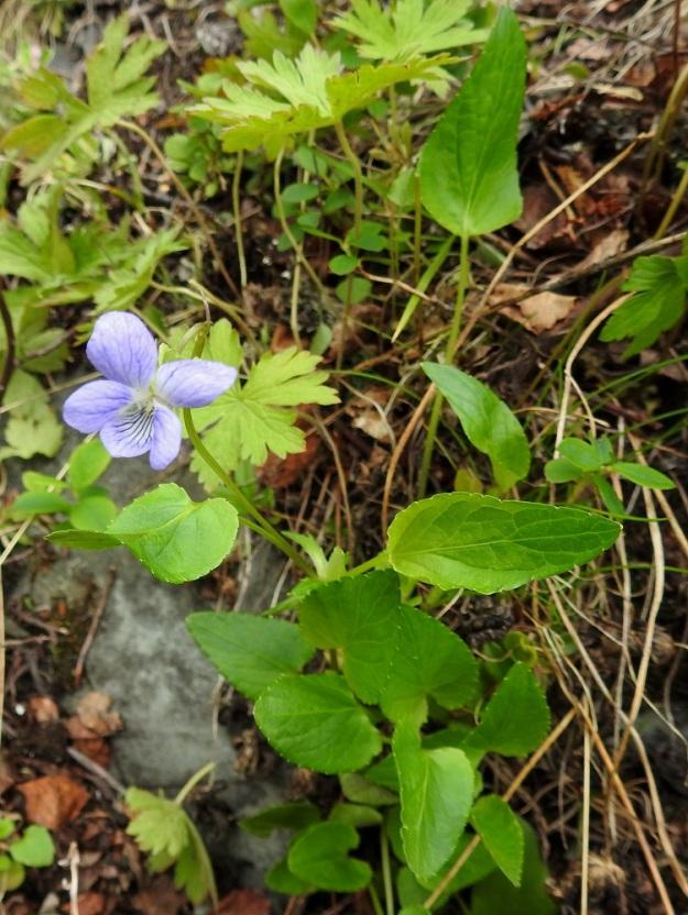 Viola canina subsp. ruppii - aho-orvokki subsp. isoaho-orvokki on lehtiruusukkeeton.  Sillä on harvoin yksittäisiä tyvilehtiä (kuvassa takana), jonka lisäksi kukkavarsien viereen toisinaan kasvaa lyhyitä, lehdekkäitä ja kukattomia varsia (kuvassa edessä). EnL, Enontekiö, Kilpisjärvi, Saanan lounaanpuoleinen rinne, ensimmäinen, matala pahtaseinämä tunturikoivikkorinteessä, retkeilykeskuksen kohdalla, luonnonsuojelualue, 600 m mpy, 5.7.2018. Copyright Hannu Kämäräinen.