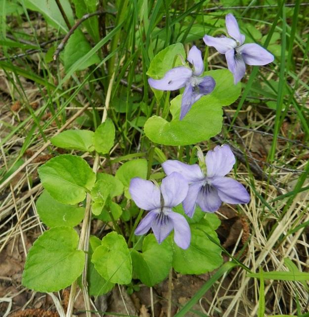 Viola riviniana - metsäorvokilla, kuten monella muullakin suvun lajilla kukkien väri vaihtelee. Kuten kuvasarjakin osoittaa, teriön väri on yleensä sininen - sinipunainen. Kuvassa olevalla yksilöllä se on epätavallisen vaalea lila. Lajille ominainen terälehtien tyven valkoisuuskin on lähes olematonta. Myös lehdet ovat poikkeuksellisen vaaleat. EH, Asikkala, Hillilä, Syrjänsupat, suppa-alueen metsäpolun laita, 7.6.2012. Copyright Hannu Kämäräinen.