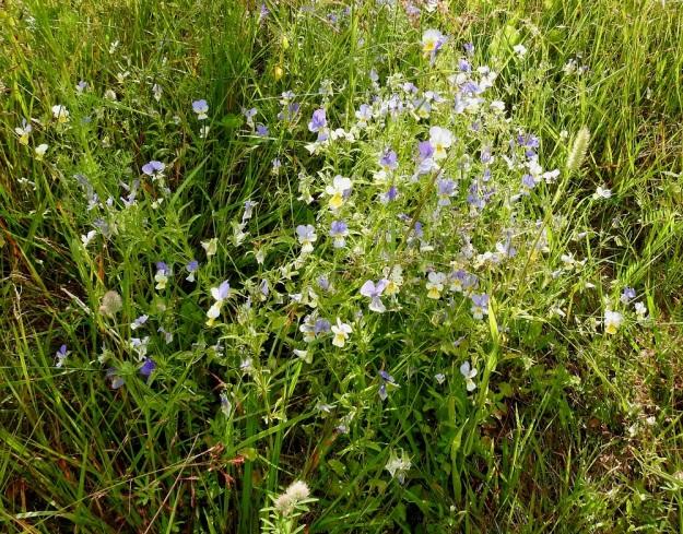 Viola tricolor - keto-orvokki voi niityillä ja pelloilla kasvaessaan muodostaa hyvin tiheitä ja varsiltaan toisiinsa kietoutuneita kasvustoja, jotka voivat venyä kuvan tavoin jopa 40-50 cm korkeiksi. Ulkomuoto ja kuvassa myös teriöiden väritys muistuttavat jo pelto-orvokkia, V. arvensis, mutta kukka on kookas ja terälehdet ovat selvästi verholehtiä pitemmät. ES, Imatra, Vuoksenniska, Kaukopää, Ruokolahdentien varrella oleva entinen puuvarastoalue, joka nykyisin avoimena niittynä, 1.8.2017. Copyright Hannu Kämäräinen.