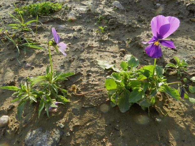 Viola xwittrockiana - tarhaorvokin matalavartiseksi jalostettu muoto on yleisempi kesäkukkana koristekasvikäytössä. Lehtimuodoissa on suurta vaihtelevuutta, kuten kuva osoittaa. Oikeanpuoleisessa kukassa ylimmät terälehdet ovat suhteessa muihin hyvin suuret, noin 30 mm pitkät ja noin 25 mm leveät. EH, Hämeenlinna, Majalahti, Louhoksentien varressa oleva maankaatopaikka, 18.9.2011. Copyright Hannu Kämäräinen.