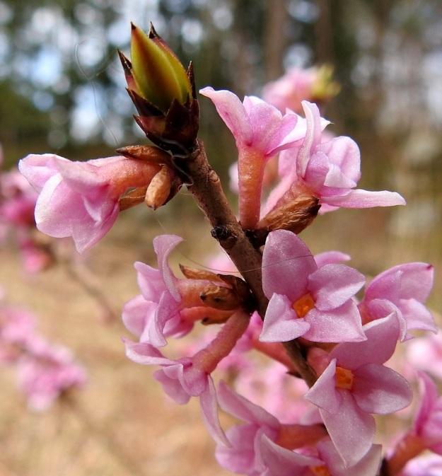 Daphne mezereum - lehtonäsiän uusia vuosikasvaimia suojaavat ruskeat ja teräväkärkiset suomut. Myös kukka-aiheet talvehtivat ryhminä samassa silmussa. Kukat ovat perättömiä ja niiden tyvelle jäävät ainakin joksikin aikaa noin 3-7 mm pitkät, ruskeat silmusuomut. Kukkapohjus on laajentunut putkeksi, joka on vaaleanruskean punertava ja yleensä noin 6-8 mm pitkä sekä noin 1,5-2 mm leveä. EH, Hämeenlinna, Loimalahti, Hirsimäki, Metsälammentien ja Yli-Raakkulantien välinen havumetsäkaista, 28.3.2020. Copyright Hannu Kämäräinen.