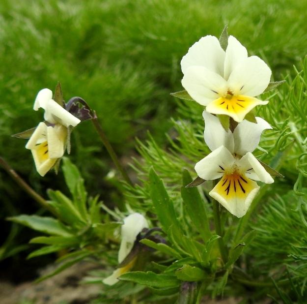 Viola arvensis - pelto-orvokin verholehtien kärjet näkyvät selvästi terälehtien takaa eli verholehdet ovat terälehtiä pitemmät tai enintään samanmittaiset. Tämä on varsin selkeä tuntomerkkiero keto-orvokkiin, V. tricolor, jolla verholehdet ovat terälehtiä lyhyemmät. Kuvan vasemmassa laidassa on kuihtuva kukka, jonka verholehtien tyvilisäkkeet ovat sinipunaiset ja hammaslaitaiset. EH, Hämeenlinna, Loimalahti, Sampo, Sammonojantien laita, tuleva nurmikkokaista, 29.5.2020. Copyright Hannu Kämäräinen.